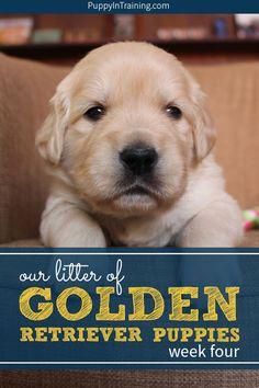 Our litter of golden retriever puppies – week 4 Golden Retriever Labrador, Retriever Puppies, Golden Retrievers, Puppies Tips, Dogs And Puppies, Doggies, Puppy Socialization, Golden Puppy, Puppy Training Tips