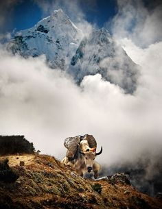 Joe brought me back an awsome pic of yaks & the bell a yak traveling with them wore while in Nepal