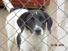 *URGENT* 'Tinker' short on time! is an adoptable Dalmatian Dog in Leslie, AR. This lovely girl is presumably dalmatian an some form of hound. They are currently in a high kill animal control facility,...