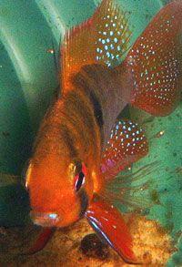 Keeping Ram Cichlid Freshwater Fish Betta Aquarium, Tropical Aquarium, Tropical Fish, Cichlid Fish, Aquarium Ideas, African Cichlids, Fish Tanks, Beautiful Fish, Colorful Fish