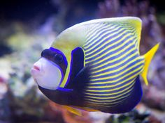 Butterfly-fish - Flickr - Photo Sharing!