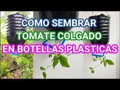 Como plantar tomates en botella de plástico Paso a Paso en tu casa o huerta muy fácil - YouTube Plants In Bottles, Home Grown Vegetables, Tower Garden, Beautiful Flowers Garden, Recycle Plastic Bottles, Green Plants, Global Warming, Hydroponics, Vegetable Gardening