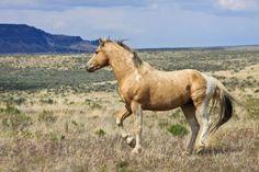 wild mustangs   ... -oregon-steens-mountains-gallery-wild-mustangs-horse-running.jpg