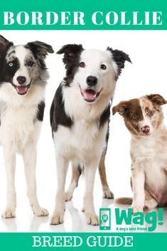 Whether you own a Border Collie or you're planning on getting a new pup, this guide contains everything you need to know about this popular dog breed! Border Collie Facts, Border Collies, Herding Dogs, Collie Dog, Dog Hacks, Pitbull Terrier, Training Your Dog, Australian Shepherd, Dog Gifts