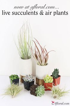 Live Succulents and Air Plants now available at Afloral.com