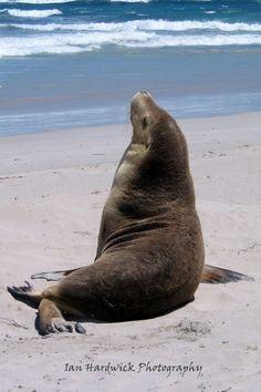 An Australian Sea Lion...
