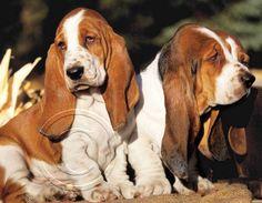 2014 Animals Pets Calendars - Bassett Hound Puppies - June 2014