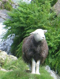 """This little herdwick looks at the scene before his eyes and gives a happy, contented sort of """"BAAAA!"""""""