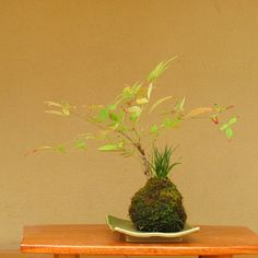 New England Bonsai Gardens: Kokedama (Moss-Ball) Planting