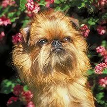 Google Image Result for http://www.puppyfind.com/breed/brussels_griffon/m_415051.jpg