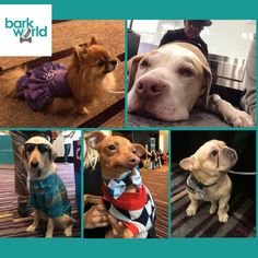 #BarkWorld2016 isn't just for human pet influencers -- we have some pretty top notice K9''s influencers in attendance too!