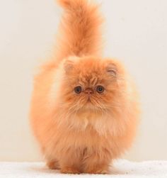 almathea all about me - red persian - Almathea Persians Solid & Smoke & Cameo