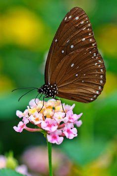 Lantana & Butterfly