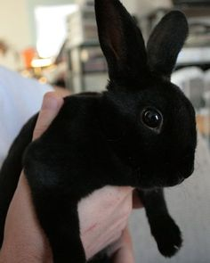 Like the black cat, black rabbits often get overlooked. Love black bunnies!