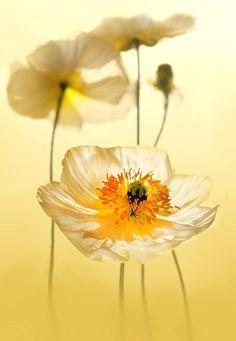 Poppy   by Jutta K on 500px