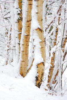 69 Ideas Birch Tree Photography Winter Aspen For 2019 Winter Landscape, Landscape Art, Landscape Paintings, Forest Landscape, Birch Tree Art, White Birch Trees, Winter Scenery, Winter Trees, Snow Trees