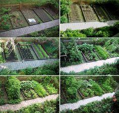 Wonderful! Skippy's Vegetable Garden start to peak photos from the journal of carletongarden.blogspot.com