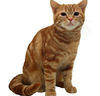 The American Shorthair Cat's Personality