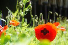 Poppy in the garden of Le Mont St Michel // My Speechless Wonders
