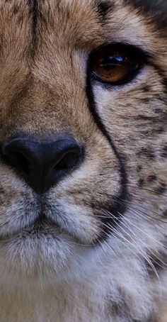 Eye of the.... err... Cheetah.