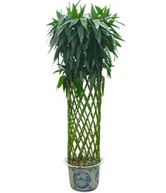 Lucky Bamboo to China, Good Luck Bamboo Plants Deliviered Bamboo Stalks, Chinese Bamboo, Lucky Bamboo, Bamboo Plants, Flower Arrangements, Great Gifts, China, Floral, Flowers