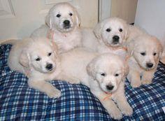 English Golden Retriever puppies goldenretrieverstreet.weebly.com