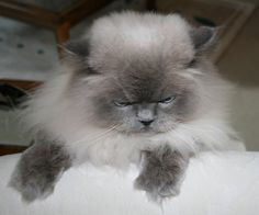 Blue Point Doll Face Himalayan Cat (Stock Photo By shaunclark) [ID: 793676] - stock.xchng