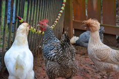 Edible garland for backyard chickens. http://growingdays.blogspot.com