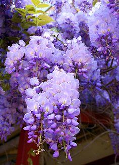 'Wisteria' by gypsygirl All Flowers, Flowers Nature, Exotic Flowers, Amazing Flowers, Purple Flowers, Beautiful Flowers, Wisteria Tree, Flower Pictures, Flower Wallpaper