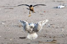 "Peregrine Falcon vs. Snowy Owl. Crow-sized peregrine falcons are fierce predators, and can attain air speeds of more than 200 mph when diving (or ""stooping"") on prey from above."
