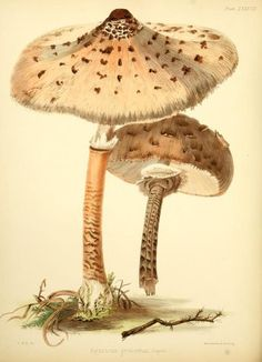 Agaricus procerus. Illustrations of British mycology ser. 1 London,Reeve, Benham and Reeve,1847-55. Biodiversitylibrary. Biodivlibrary. BHL. Biodiversity Heritage Library