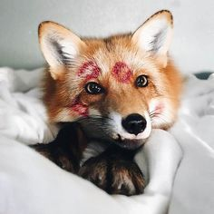 Somebody's been kissing on this little fox ❤️