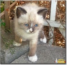 Read Fluffy the Siamese kitten's story from California and see his photos at Cat of the Day http://CatoftheDay.com/archive/2014/June/12.html .