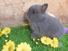 bébé lapin mignon Nain de couleur Bleu