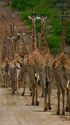 """Rush Hour in Africa LOL. notice the zebras reaction in the left top corner of the photo, he's like, """"whoa, giraffe stampede, i'm outta here! Cute Baby Animals, Animals And Pets, Nature Animals, Wild Animals, Beautiful Creatures, Animals Beautiful, Tier Fotos, All Gods Creatures, African Animals"""