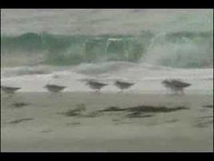 """Sandpipers and """"Flight Of The Bumblebee"""" - If you're needing a little bit of summer and beach feeling right now watch this!"""