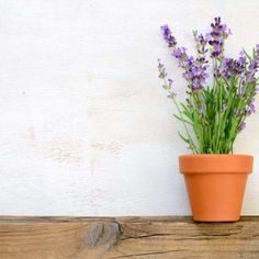 Lavender growing in a pot - Buy this stock photo and explore similar images at Adobe Stock Decoration, Planter Pots, Lavender, Stock Photos, Plants, Tips, Decor, Decorations, Plant
