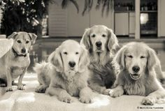 """The Golden Study Volunteer Program is definitely a """"golden"""" opportunity to make a difference in the health of dogs, and Nancy Clark, senior study participants specialist for Morris Animal Foundation, wanted to find highly dedicated dog lovers to help lead ..."""