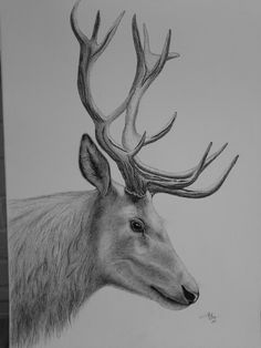 Stag's head.  Large pen and ink drawing . Yvonnemayartist.co.uk