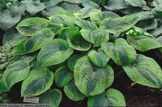 types of hosta plants with pictures | hosta flavo circinalis hosta tokudama flavocircinalis type perennials ...