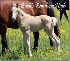 For Sale - BUCK'S RAINBOW HIGH #PEND - beautiful palomino Tennessee Walking Horse filly, with a star, strip and snip. By The Buck Starts Here X Papa's Cutie.  She is big-boned, sturdy and will be 15.1 hands.  The best thing about Rainbow is that she is naturally gaited - she walks with every stride.  Foaled 05/07/2013.  Located in Missouri. Cheap at $2500.  http://www.holmesfarmwalkers.com/BucksRainbowHigh.htm