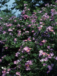 SHADE:  Rosa setigera (Climbing prairie rose) #24306