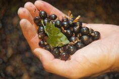 Locally grown black currants before they become Cassis