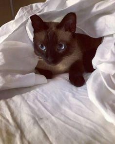 What Games and Exercise Siamese Cat like to do and play? Siamese Cat Breeders, Siamese Cats, Angry Cat, Baby Cats, Dog Pictures, Mystery, Exercise, Play, Genetics