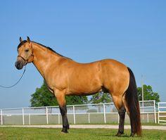Quarter Horse stallion Frenchmans Goldcharm