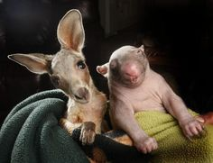 Anzac & Peggy (a baby kangaroo and a baby wombat, respectively)  http://www.circleofmoms.com/article/sweetest-friendship-photos-05033?trk=digest_editorial_5063_enc=q9Gk0deUq8iqx9DSj8nQoA%253D%253D_src=1344709080fc20c0533bfae6ebd511c7e9e57437c5_name=digest_weekly_5_id=0c96e4e23ddb5bcba5aff6fe986301a2%3A0_id=f_5063_fb=1