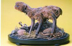 The legendary Vegetable Lamb of Tartary  #taxidermy #cryptozoology #myth