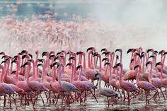 This is Lake Nakuru located in Nairobi, Kenya. Thousand of Flamingos gather at Lake Nakuru, making for an absolutely incredible sight. Pink Flamingos Birds, Flamingo Bird, Pink Bird, Flamingo Facts, Valle Del Rift, Beautiful Birds, Beautiful Pictures, Amazing Photos, Diani Beach