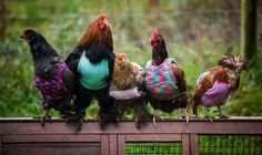 Two women, Nicola Congdon and her mother Ann (from Falmouth in Cornwall, England) are rescuing retired battery chickens by giving them a new home. These are former battery chickens, who, unfortunately, having spent all their lives in cages, are not able to acclimatize to normal weather conditions. So these women knit them woolly chicken jumpers.