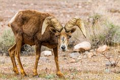 https://flic.kr/p/HzQTKg | The Old Man | The Old Man Desert Big Horn Sheep Valley Of Fire State Park Overton, Nevada